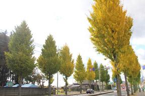 大田原いちょう並木を歩こうコース