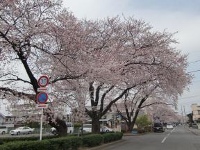新川桜並木