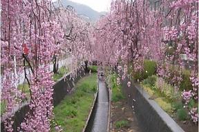 旧袋川(しだれ桜)